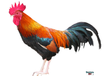 Rooster PNG