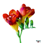 Flower - Freesia PNG