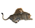 Lions couple PNG