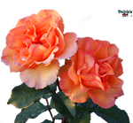Beautiful flower PNG