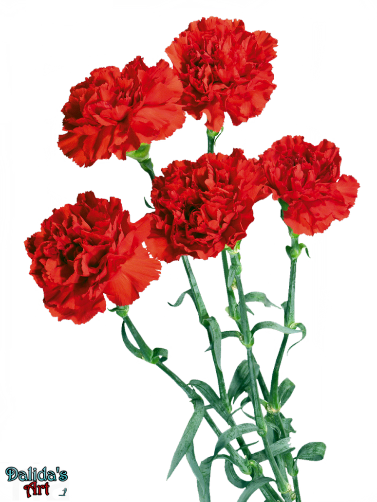 Beautiful Carnation flowers PNG by makiskan on DeviantArt