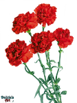 Beautiful Carnation flowers PNG