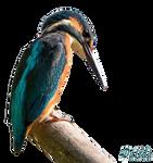 Kingfisher-1