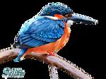 Kingfisher-3