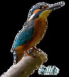 Kingfisher-4