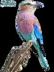 Lilac-breasted Roller (Coracias caudatus)-2