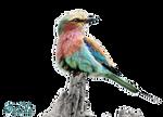 Lilac-breasted Roller (Coracias caudatus)-4