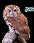 Eastern Screech Owl by Dalidas-Art
