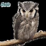 Ptilopsis granti (Southern white faced owl)