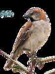 Passer rufocinctus - Sparrow