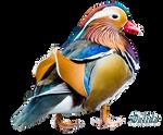 Mandarin Bird png