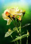 Roses - Flowers