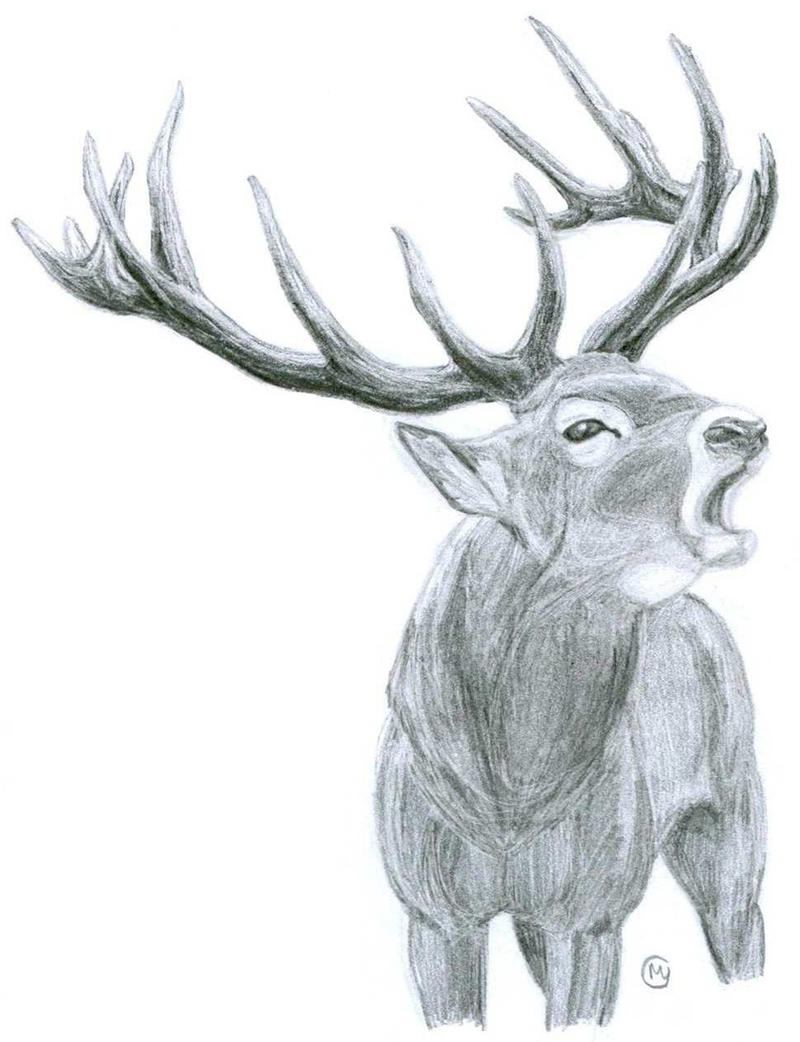 Stag Drawing Bellowing...