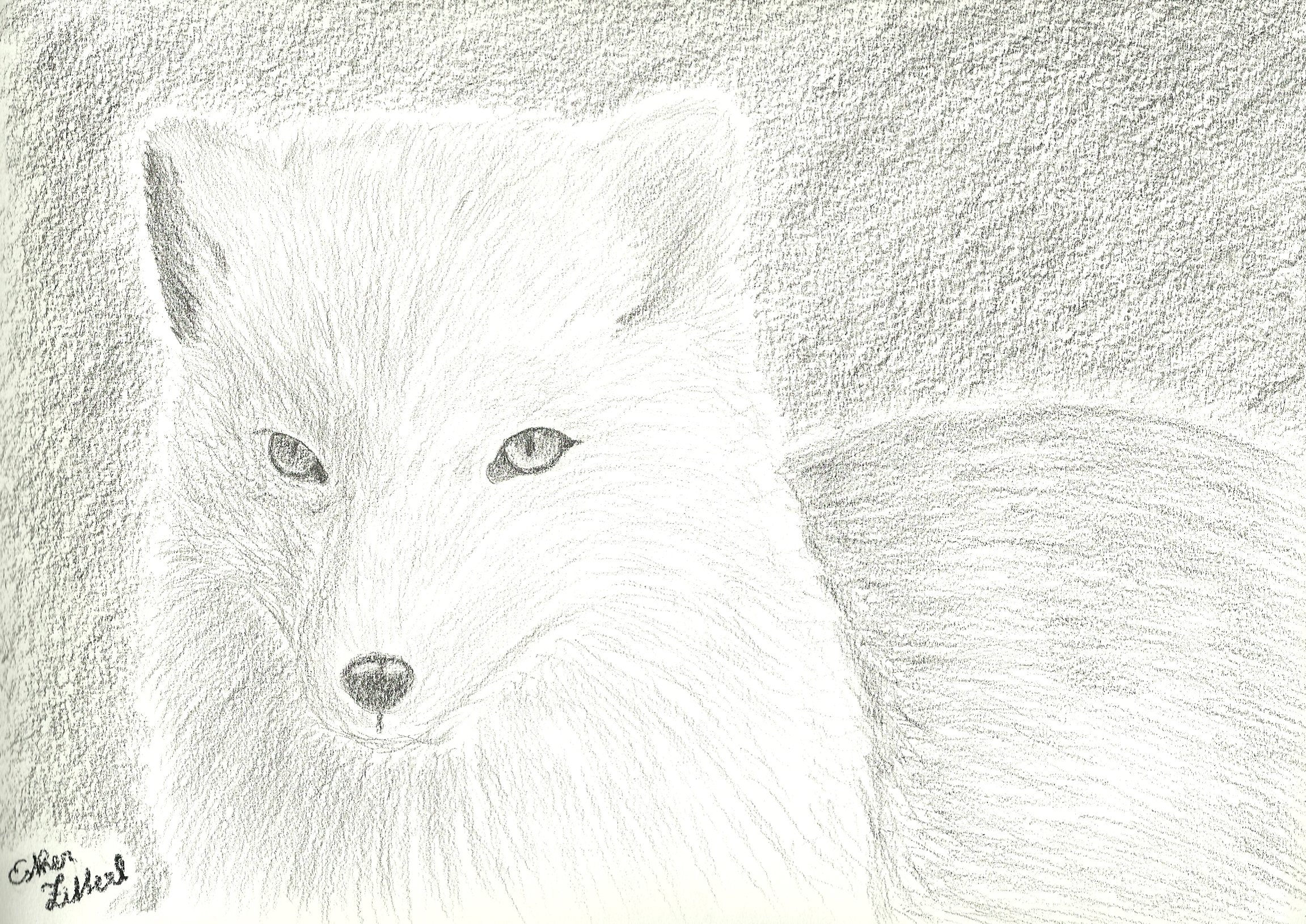 Arctic fox by xcxninuixcx arctic fox by xcxninuixcx