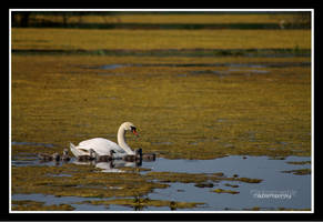 Swan mum by declaudi