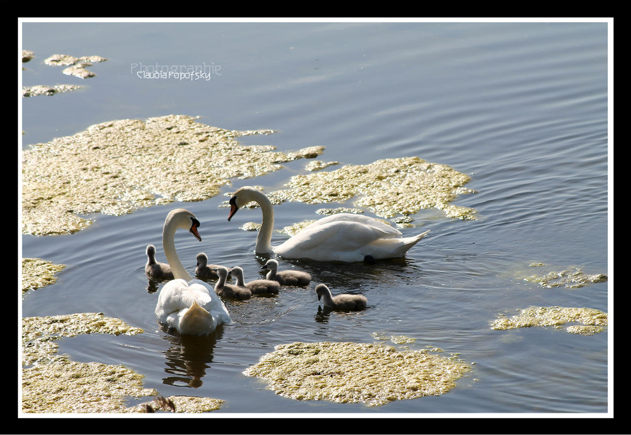 Swan love by declaudi