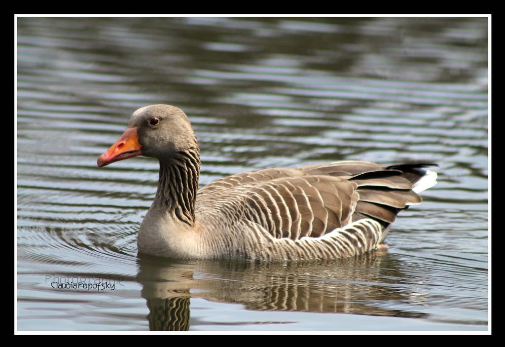 floating Grey Goose by declaudi