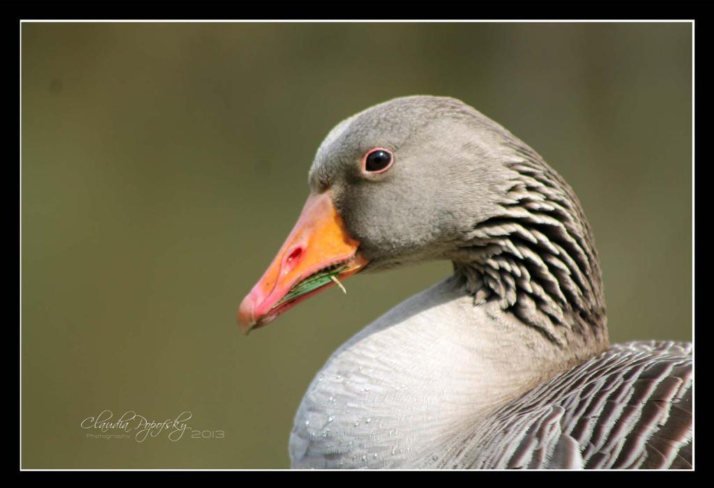 Portrait of geese by declaudi