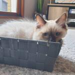 the cat ragdoll