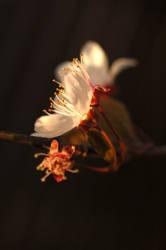 Plum Blossoms of Light