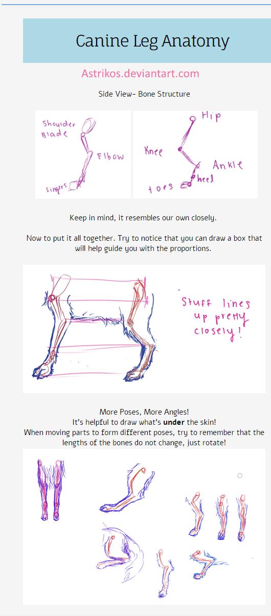 Canine Leg Anatomy Tut by Astrikos on DeviantArt