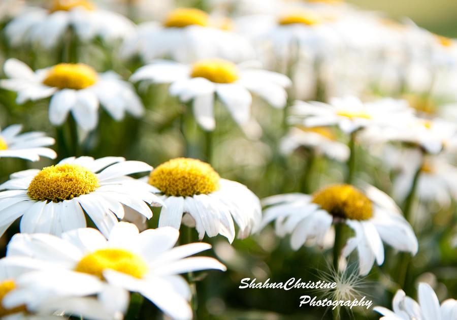 Daisy by shahnachristinephoto