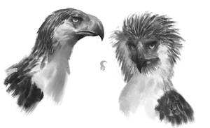 Philippine Eagle sketches by RAPHTOR
