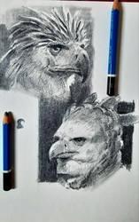 Philippine Eagle and Harpy Eagle