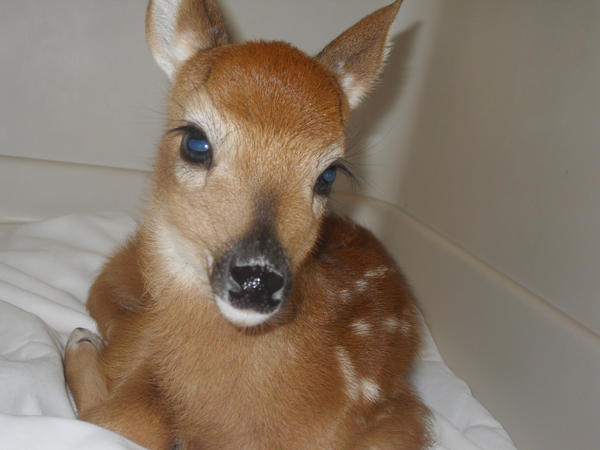 baby deer 2 by blaike38