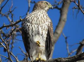 Hawk Chilling by Mechalight
