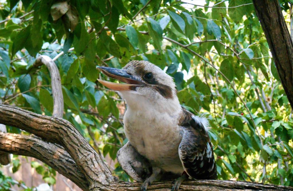 Kookaburra by Mechalight