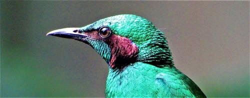 Emerald Starling (Headshot) by Mechalight