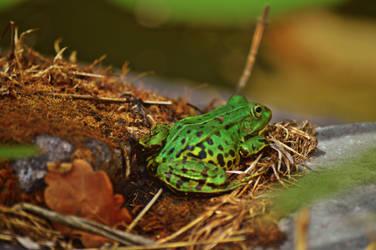 Frog stock 5