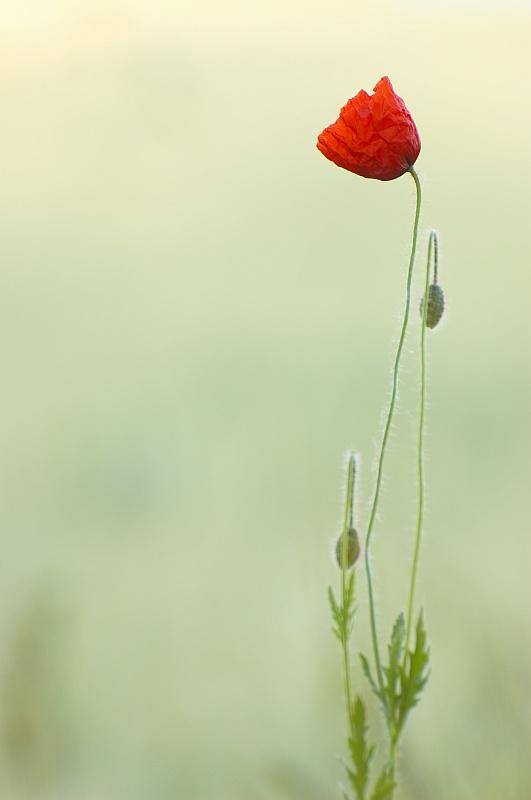 Polny kwiat.. by Buszujacy-w-zbozu