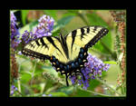 Eastern Tiger Swallowtail II
