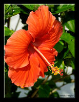 Orange Hibiscus by David-A-Wagner