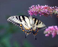 Eastern Tiger Swallowtail VI by David-A-Wagner