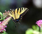 Eastern Tiger Swallowtail VII
