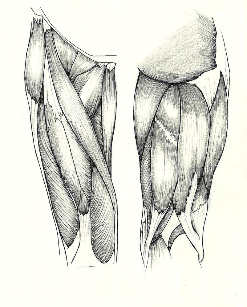 Anatomy study: Upper leg by BourneLach on DeviantArt