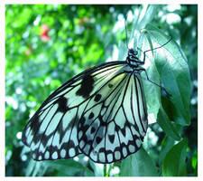 december butterfly by klf