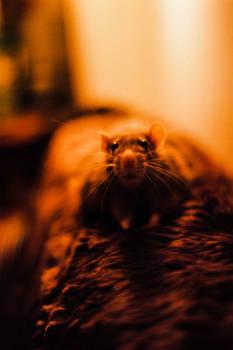 Lazy Rodent