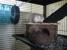 Snoopy Rat relaxing.