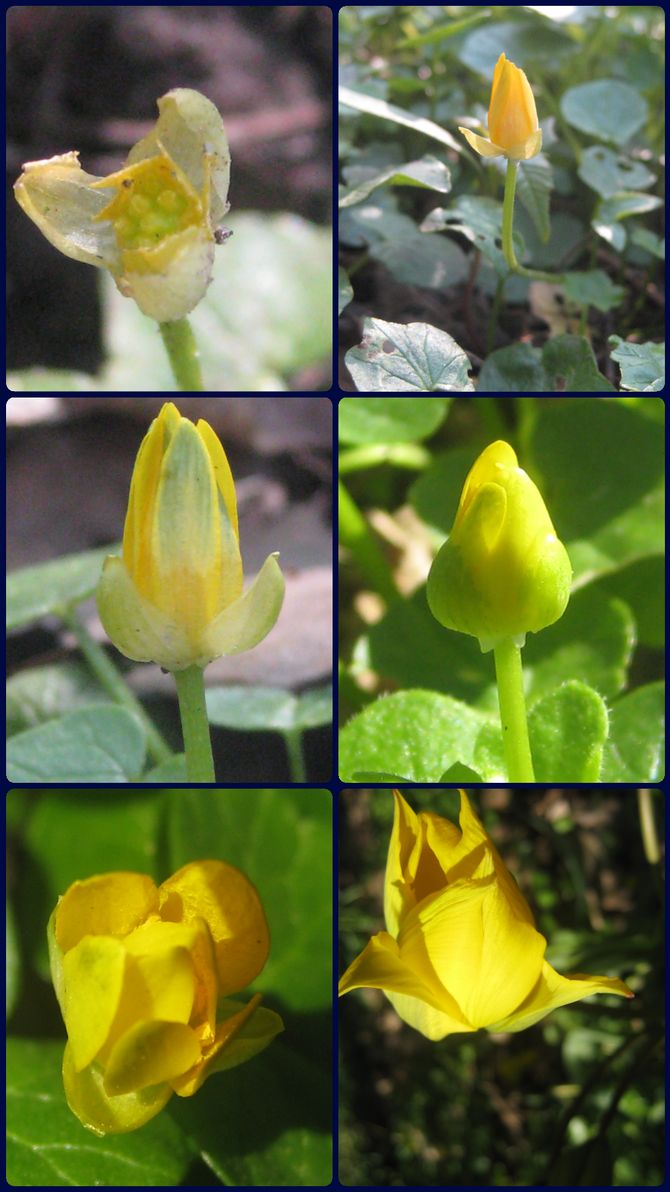 Pl@ntNet says these are all Tulipa sylvestris. by Eternatease