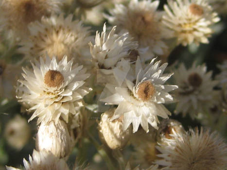 More pretty Anaphalis margaritacea (L.) Benth.