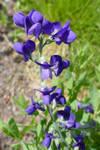 Baptisia australis 2020-II.
