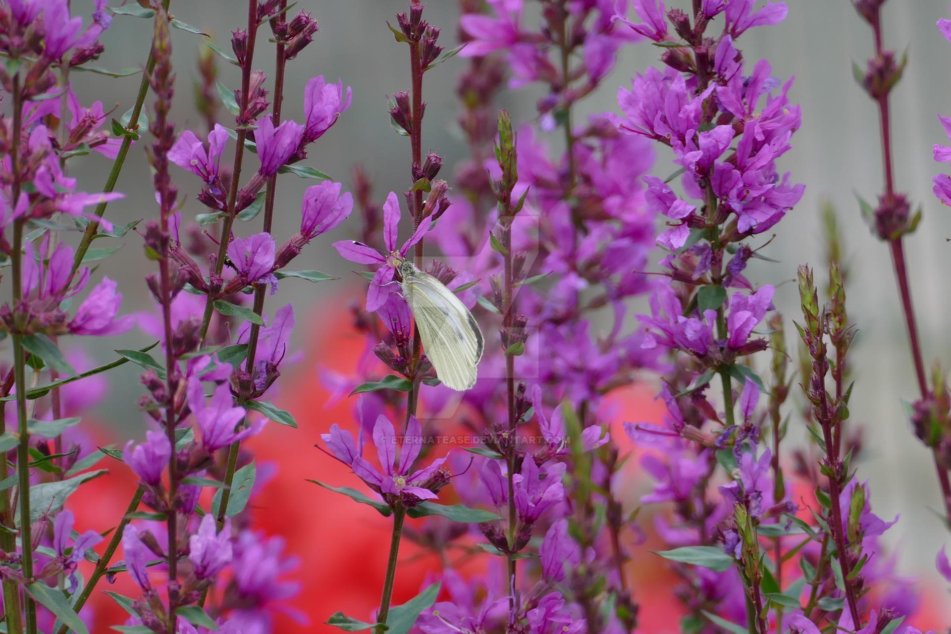 Pieris brassicae on Lythrum salicaria 2020.