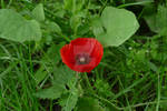 Single red poppy in the grass 2020. by Eternatease
