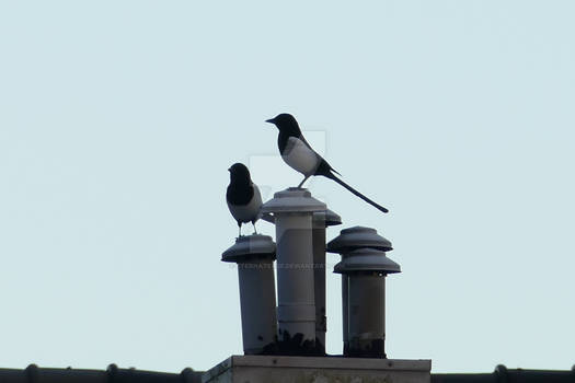Pair of Eurasian magpies on a chimney stack.