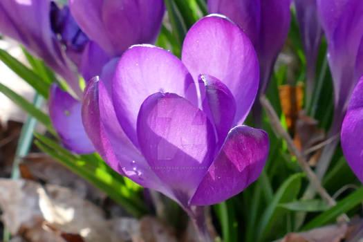 Purple Crocus vernus.