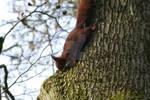Sciurus vulgaris climbing down a tree. by Eternatease